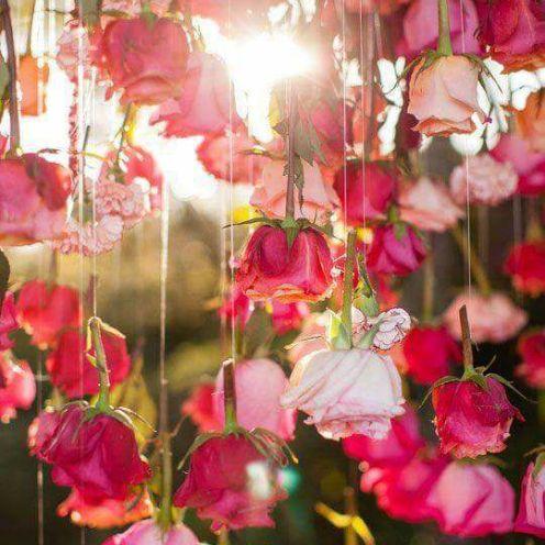 rose fond décran